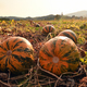 Pumpkin field with big orange ripe pumpkins - PhotoDune Item for Sale