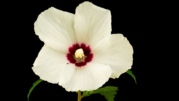 White Hibiscus Flower Blooming by nao98 | VideoHive