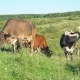 Cows Graze on the Lawn - VideoHive Item for Sale