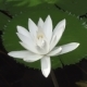 Flower of White Lotus Against the Background of Water and Green Leaves Early in the Morning - VideoHive Item for Sale