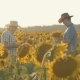 Two Farmers in a Field with Sunflowers at Sunset with a Tablet - VideoHive Item for Sale