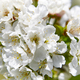 Cherry blossom flowers in Jerte Valley, Caceres. Spring in Spain - PhotoDune Item for Sale