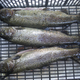 Trout fished on Italian river. - PhotoDune Item for Sale