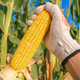 Farmer hand picking ripe corn on the cob - PhotoDune Item for Sale