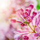 Blooming bright lilac buds close-up. - PhotoDune Item for Sale