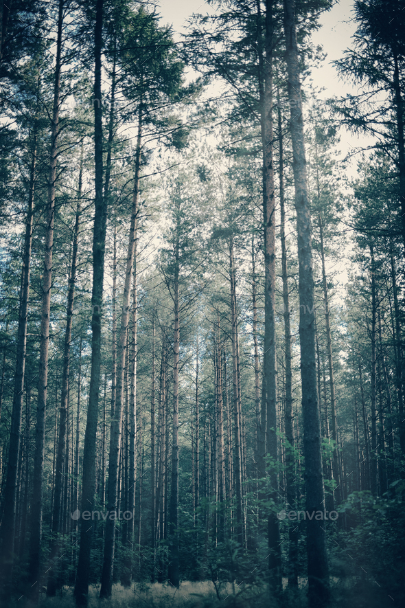 Foggy, moody forest with tall trees. - Stock Photo - Images