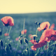 Poppy flowers on the green field in a close-up. - PhotoDune Item for Sale