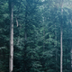 Tall green trees in a foggy gloomy forest. - PhotoDune Item for Sale