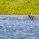 indian spot billed ducks in lake - PhotoDune Item for Sale