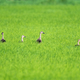 indian spot billed ducks in the rice field - PhotoDune Item for Sale