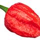 Dorset Naga pepper c.chinense, top - PhotoDune Item for Sale