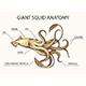 Giant Squid Anatomy Illustration