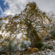 Old centennial oak with autumnal foliage covered by the first sn - PhotoDune Item for Sale