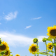 The charming landscape of sunflowers against the sky. Sunflowers garden. - PhotoDune Item for Sale