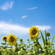 Blossoming sunflower flower on the farm field. The charming landscape of sunflowers against the sky. - PhotoDune Item for Sale