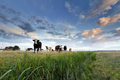 few cows on pasture at sunset - PhotoDune Item for Sale