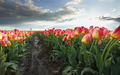 sunshine over beautiful pink tulip flowers - PhotoDune Item for Sale