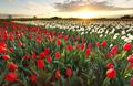 sunset sunshine over tulip field - PhotoDune Item for Sale