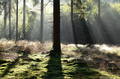 beautiful light in foggy coniferous forest - PhotoDune Item for Sale