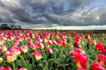 beautiful pink tulips and dramatic sky - PhotoDune Item for Sale