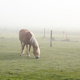 horse grazing on pasture in fog - PhotoDune Item for Sale