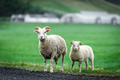 Two sheeps on green meadow - PhotoDune Item for Sale