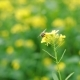 Bee Collects Nectar From Mustard Rapeseed Flower - VideoHive Item for Sale