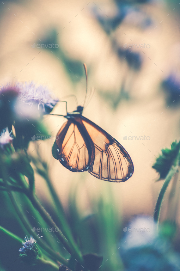 Glasswinged Butterfly On The Flower Stock Photo By Annaom Photodune