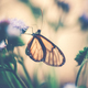 Glasswinged butterfly on the flower - PhotoDune Item for Sale