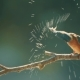 Kingfisher or Alcedo Atthis Perches with Prey - VideoHive Item for Sale