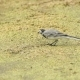 Juvenile White Wagtail or Motacilla Alba Eats Botfly - VideoHive Item for Sale
