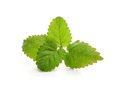 Fresh balm mint leaves - PhotoDune Item for Sale