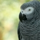 Red-tailed Monogamous African Congo Grey Parrot. Companion Jaco Is Popular Avian Pet Native - VideoHive Item for Sale