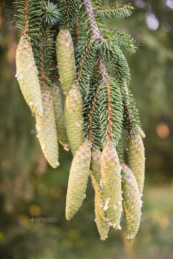 Norway spruce tree pinecones. - Stock Photo - Images