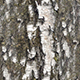 Pack of 3 Birch Bark