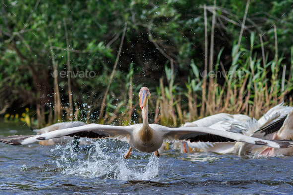 white pelican in Danube Delta, Romania - Stock Photo - Images