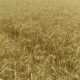 Yellow Ears Wheat Sway in the Wind - VideoHive Item for Sale