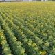 Sunflower on the Field, Along the Rows, a Lot of Plants, Field of Sunflowers - VideoHive Item for Sale