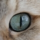 Of Cat's Blue Green Eye. Golden British Cat - VideoHive Item for Sale