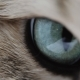 Of Cat's Blue Green Eye. Golden British Cat. - VideoHive Item for Sale