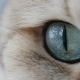 Cat With Big Blue or Green Eyes  Looking At The Camera - VideoHive Item for Sale