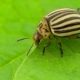 Colorado Potato Beetle Eats Leaves . - VideoHive Item for Sale