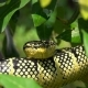 Wagler's Temple Pit Viper (Tropidolaemus Wagleri) Sleeping on Tree Branch - VideoHive Item for Sale