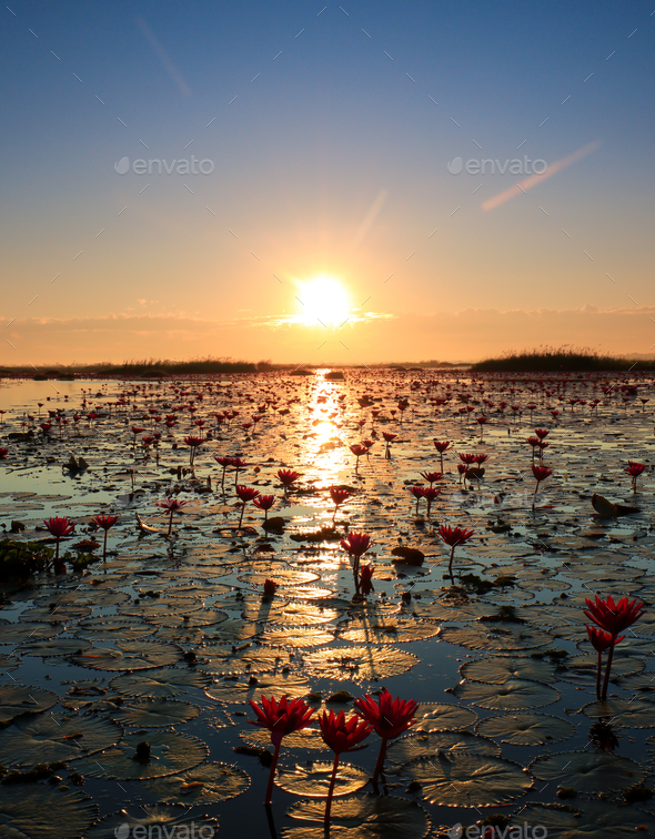 The sea of red lotus, Lake Nong Harn, Udon Thani, Thailand - Stock Photo - Images