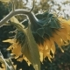 Beautiful Sunflower with Sunrise - VideoHive Item for Sale