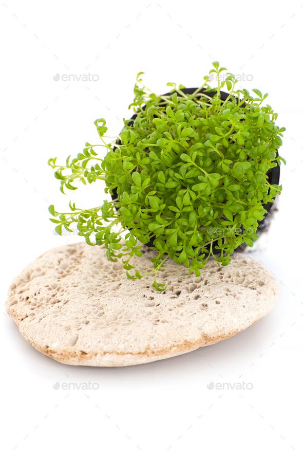 Fresh Cress Salad Lepidium Sativum On A White Background