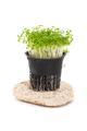 Fresh Cress Salad (Lepidium sativum) growing in a pot on a white - PhotoDune Item for Sale
