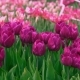 Purple Tulips on the Sunset - VideoHive Item for Sale