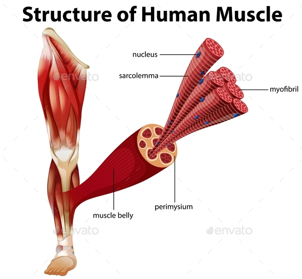 A Structure Of Human Muscle By Blueringmedia Graphicriver
