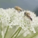 Bee Pollinating and Collecting Nectar From Wildflowers on Meadow - VideoHive Item for Sale